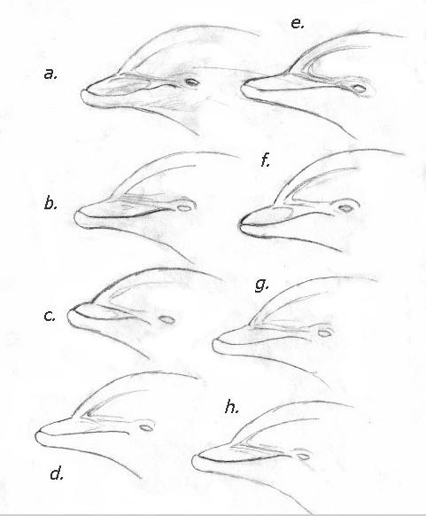 042ff269631bfb5c5f9acfb455a1eff0_dolphin5jpg-dolphin-head-drawing_481-582