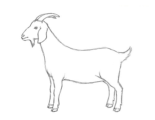 How To Draw A Goat Step By Step Guide How To Draw