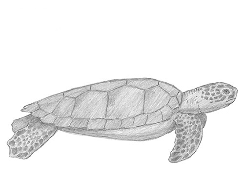 How To Draw a Realistic Turtle